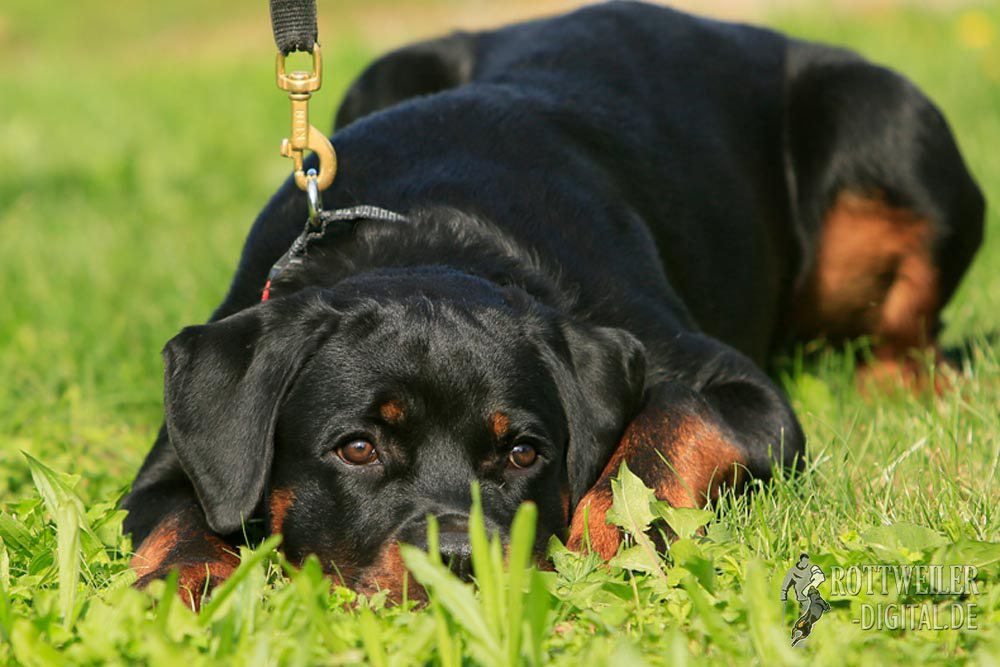 Unser Rotweiler Krash ist 5 Monate alt
