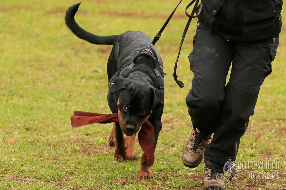 Rottweiler Krash  vom Cherniy Kumir, 7 Monate alt