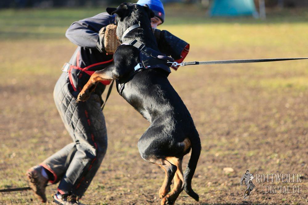 Schutzdienst Training, Rottweiler Krash vom Cherniy Kumir 9 Monate alt