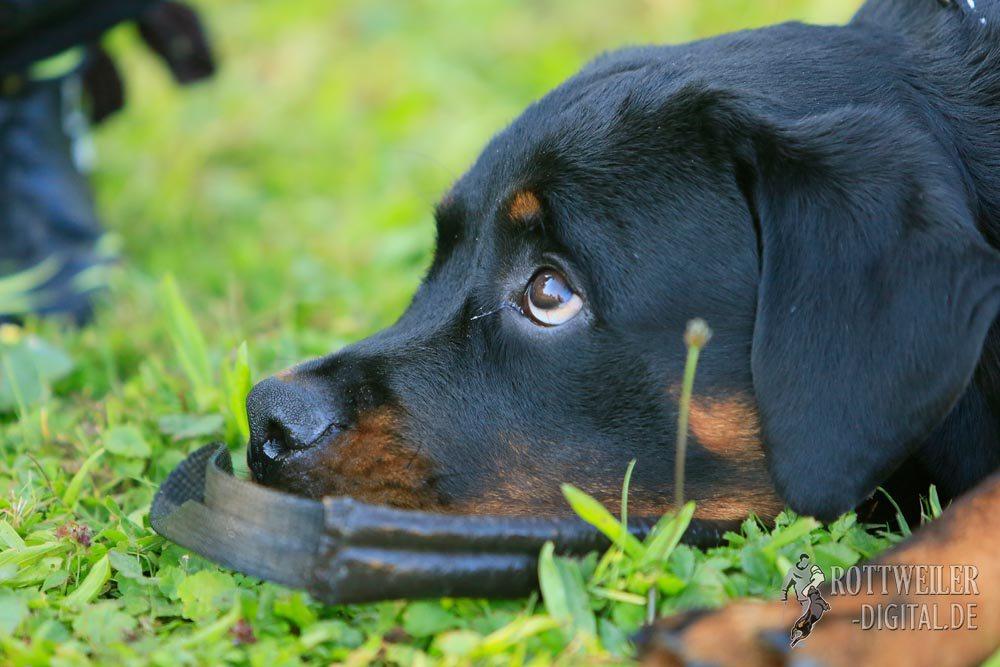 Rottweiler Krash 5,5 Monae alt