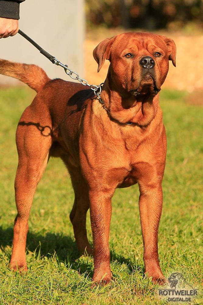 Rottweiler X Bordeaux Dogge