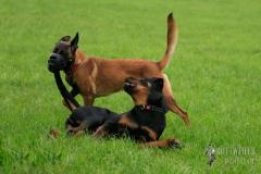 Rottweiler Krash, 6 Monate alt