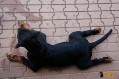Rottweilerwelpe Krash, 3 Monate alt