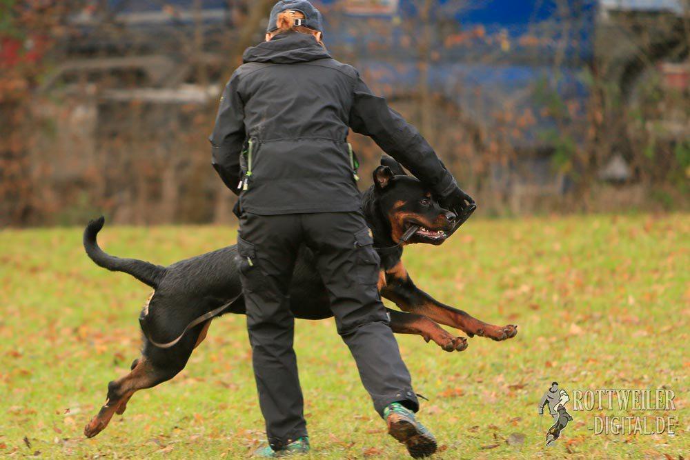 Rottweiler Krash vom Cherniy Kumir, 9 Monate alt