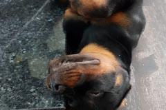 Rottweilerwelpe Krash, 4 Monate alt