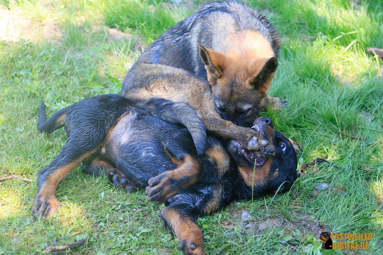 Spielende Welpen - Rottweiler Krash und Schäferhund Lucifer