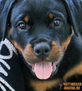 Rottweiler Welpe, 3 Monate alt