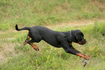 Rottweiler Krash vom Cherniy Kumir