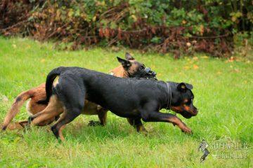 Rottweiler Krash vom Cherniy Kumir, 6 Monate alt