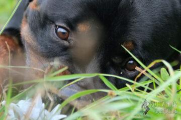 Rottweiler Krash vom Chernyi Kumir